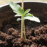 What are the Advantages of Autoflowering Seeds